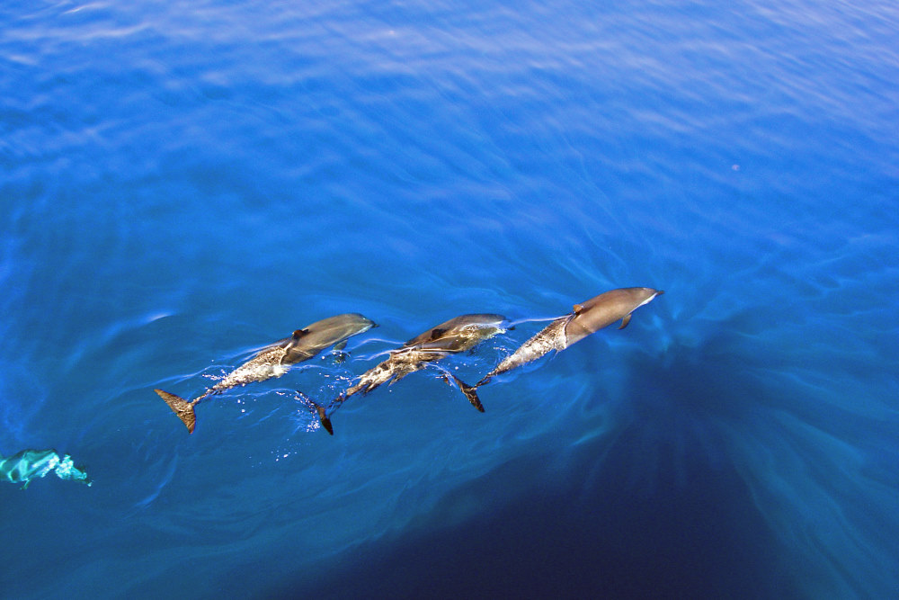 Delfin bei Tamarin